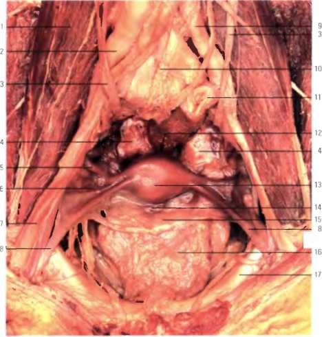 женские половые органы картинки