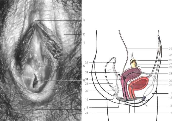 нашла анатомия женских половых органов видео незабываемо трахаться компании